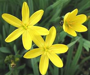 10 JAUNE EYED graminée Sisyrinchium californicum Graines de fleurs * Comb S/H
