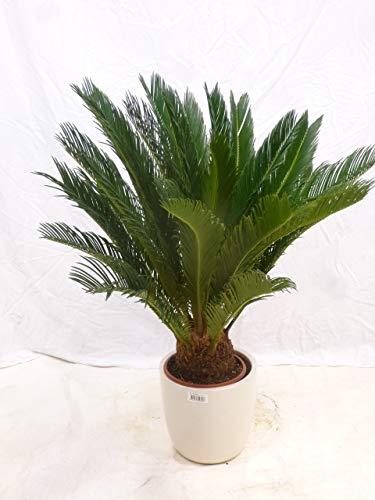 [Palmenlager] - Cycas revoluta 100 cm - Stamm 15 cm - Sagopalme - Palmfarn