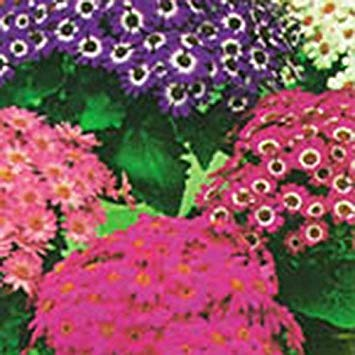 Shop Meeko Kings Seeds - Cineraria Excelsior - 75 Graines