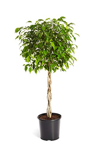 Brighter Blooms Benjamina Ficus Tree- Unique Potted Tree, Perfect as a Patio Plant or Indoor Tree | No Shipping to AZ (3-4 ft.)