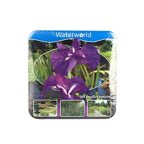Echte Teichpflanze IRIS LILA - Teich Pflanzen Winterhart mit Pflanzkorb und Dünger Wasserpflanzen Gartenteich Seerosen Nymphaea Schwimmpflanzen Teichpflanzen Echt