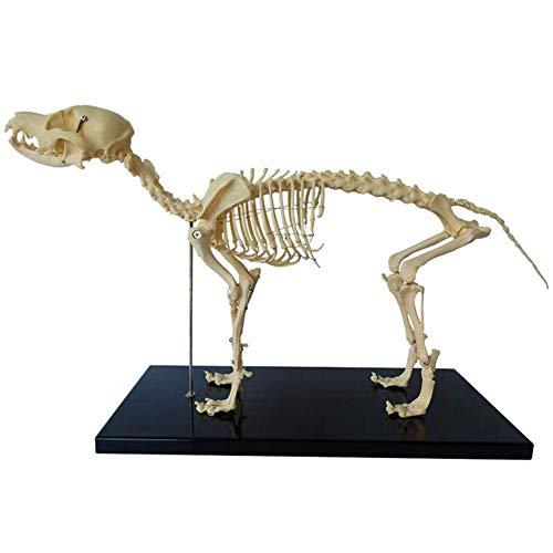 HOMEDAI Modelo de Esqueleto de Perro Modelo, Enseñanza de Anatomía Animal