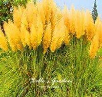 100pcs multi-couleurs scirpe Graines de plantes vivaces herbe Semences de l'herbe d'ornement exotiques Bonsai Graines 02