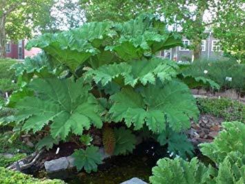 vegherb Mammutblatt Riesen-Blätter Samen!