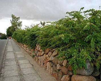 vegherb 100 Semi di Confine ligustro, Ligustrum obtusifolium, arbusto Semi