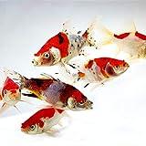 Toledo Goldfish Live Shubunkin and Sarasa Goldfish Combo for Ponds or...