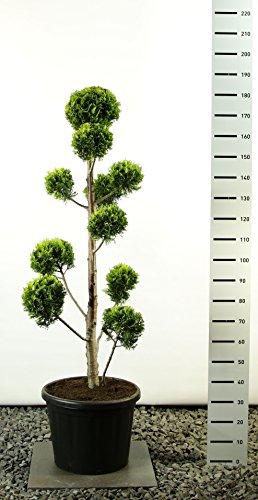 Scheinzypresse Kugel-Formschnitt - Chamaecyparis lawsoniana 'Ivonne' - verschiedene Größen (125-150cm - Ø 36cm -20Ltr.)