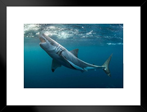 Poster Foundry Great White Shark with Jaws Open Photo Art Print Matted Framed Wall Art 26x20 inch