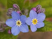 ワスレナグサの種 罰金装飾 古典的な花 成長しやすい 庭の風景-400 個