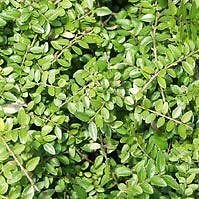 5x Lonicera nitida Maigrün, im Topf / Container 20 - 30 cm breit