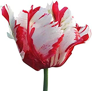 parrot tulip bulbs for sale