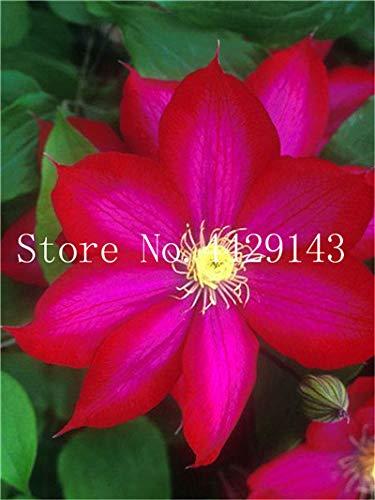 ShopMeeko SEEDS: 100 Stück/bag Bonsai es Bonsai Pflanze, Innen/Außen Topfpflanze für Hausgarten-Dekor: 12