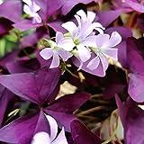 Oce180anYLVUK 50 Piezas Respetuosas con El Medio Ambiente, Tolerantes A La Sequía, Semillas De Trébol, Bonsai Frescos, Semillas De Flores Púrpuras, Decoración del Hogar Semilla
