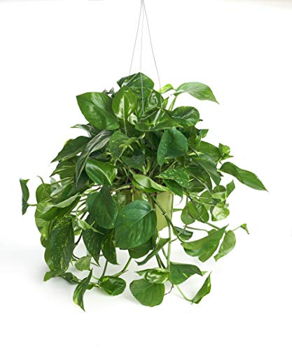 "Shop Succulents | Vining Hand Selected, Air Purifying Easy Care Live Indoor/Outdoor Pothos Devil's Ivy House Plant in 6"" Grow Pot, Single, Gardeners Collection"
