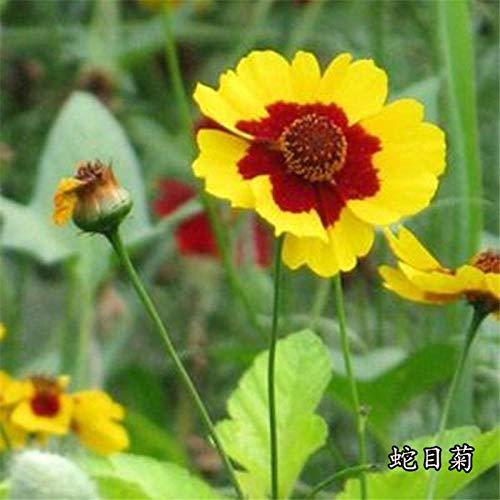 promworld arôme épanoui graines,Snakehead Daisy Garden Plante ornementale fleur-5kg,Fleur Graines
