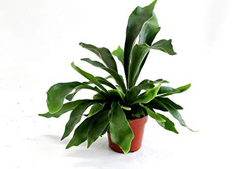 Geweihfarn 35 cm Platycerium Bifurcatum Zimmerpflanze