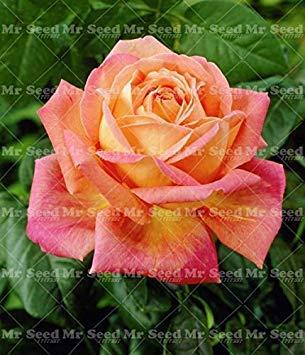 Fash Lady 50pcs mischte Farben chinesische rosafarbene Samen Bonsaisblumensamen Sch¨¹¹Ne mehrjährige Rosensamen Seltene Balkonanlage FÃhrige 4r Hausgarten 18