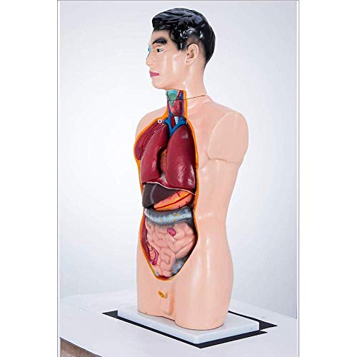 YZ-YUAN Assembly Assembly model Human Anatomy Model in Teaching and Learning (65CM) Model Body Torso Model Visceral Anatomisk Medical, PVC Templates 19 Parts for School,Education
