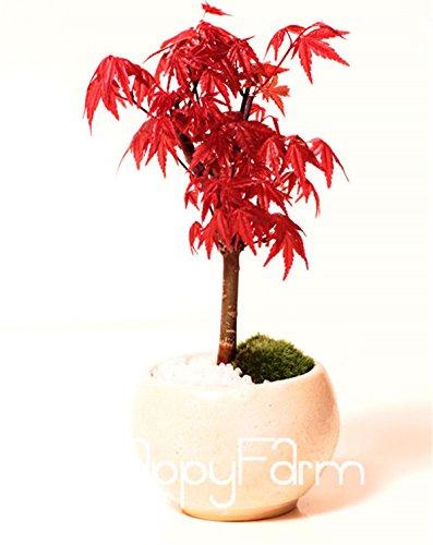 mini-bonsaï érable flammé graines Canada, 20PCS un pack, bel arbre en pot de flamme canadienne Maple Colorful Seeds