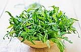 Rúcula semillas para plantar semillas de hortalizas verduras verdes nutritivas y deliciosas-300 pcs