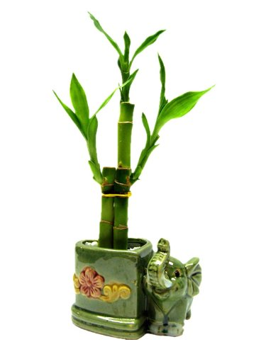 1 Set (3 Stalks) of Lucky Bamboo Arrangement in a...