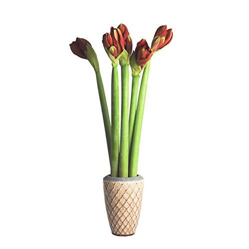 Echte Amaryllis Hippeastrum frische Schnittblumen - verschiedene Farben & Sets, riesige Blüten, pflegeleicht - prächtige Schnittblumen Ritterstern Blumen winterhart (5, Rot)