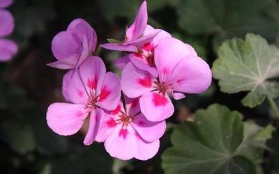 semillas de marihuana Violeta planta de flor en flor flores fruta interior del balcón 10 semillas
