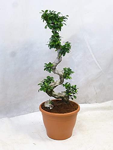 [Palmenlager] XXL Ficus...