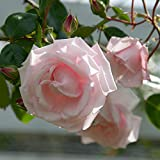 Climbing Rose 'New Dawn' Potted 3L
