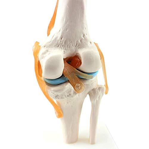 DXFK.AM Mensch Kniegelenk Modell 1: 1 Orthopädische Knie Skelett Modell Arzt-Patient Kommunikation Skelettunterricht