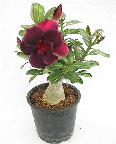 Rosa del desierto planta/Se puede cultivar en interior y exterior/Y es encantador-1,1bulbos