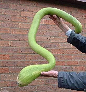 Vistaric 25 Samen Klettern Zucchini, Trombocino, Zucchetta Rampicante, italienischer Posaunen Squash