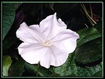 VISA STORE Mondblume, Nacht Blooming e, duftend, 40 Samen