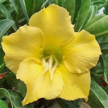 prime vista 100% echte 2 stücke wüstenrose samen, Adenium samen bonsai Sukkulenten Zierpflanzen Pflanze für Garten & Balkon mix farben 3