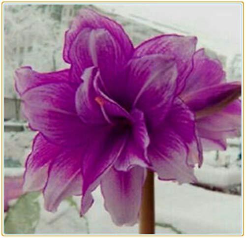 Bulbos verdaderas Amaryllis de los bulbos de flores, bulbos de Bonsai Hippeastrum para el hogar y jardín bulbos de marihuana Barbados flor del lirio/2bulbos-6