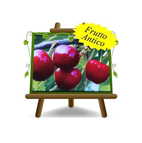 cerise doux Durone Noir II de Vignola - plante de fruits vieux porte-greffe franc sur pot de 26 - arbre max 200 cm - 4 ans