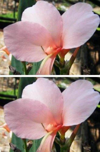 Graines de fleurs Graines Bonsai pot Graines Thai Rose Lily Canna ThailandMrk famille jardin Canna fleur B081