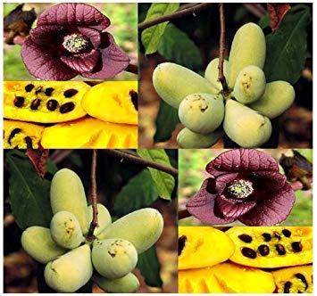 GETSO Samen-Paket Nicht Pflanzen: 5 Pawpaw paw paw Pawpaw Samen Fresh Select Asimina