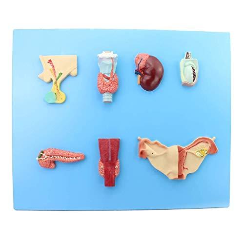 ZAMAX Modelo de Estudio Modelo endocrino Humano Modelo Anatómico Pinómico Pineal Glándula tiroideo de paratiroides y glándula suprarrenal Herramienta de enseñanza médica
