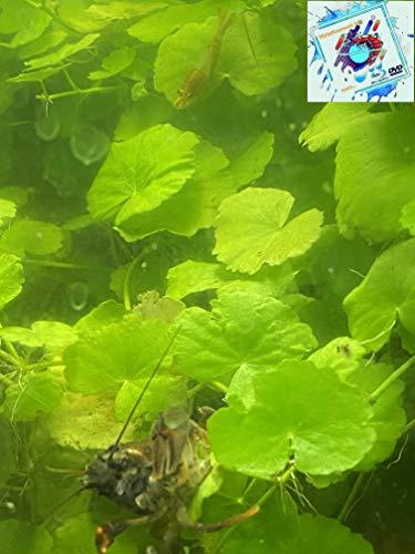 Topbilliger Pflanzen Froschbiss - Limnobium laevigatum 3X Wasserpflanze für Teich und Aquarium