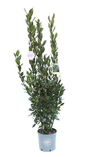 Laurus nobilis, Alloro, Cespuglio, Pianta vera in vaso, Pianta da siepe, Pianta da terrazzo
