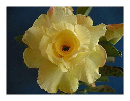 Adenium obesum Luangpaumsap - Rose du désert - Faux baobab - 3 graines