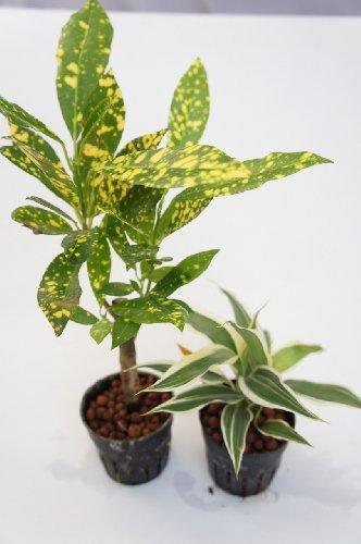 園芸農家から新鮮な苗を届けます。 ハイドロカルチャー苗 寄せ植えセット6Φ【広葉クロトン×サンデリー】 水だけで育つので育てやすいのが特徴