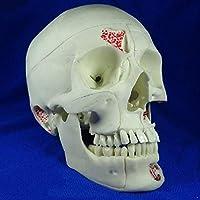 等身大人間の頭蓋骨モデル取り外し可能な10パーツ頭蓋骨神経学頭蓋骨モデル医療解剖学的頭蓋骨モデル、医療モデル