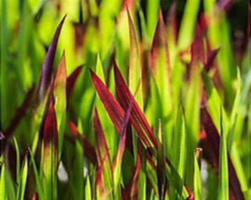 Japanisches Blutgras 50 Stück Red Baron Imperata cylindrica var. T9x9 PflanzwareGräser
