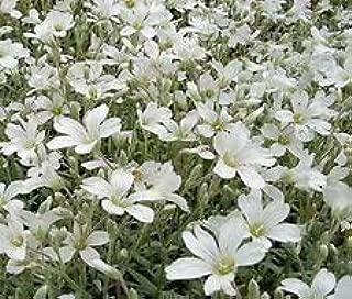 The Dirty Gardener Cerastium Snow in Summer Flowers, 100+ Seeds