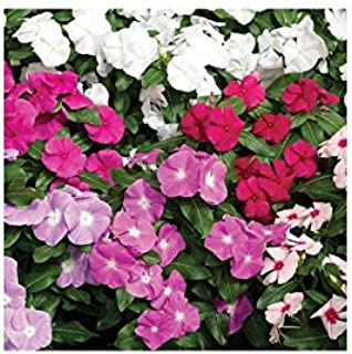 Vinca - Cora Mix F1 - Mixed Color Flower Seeds - 250 Seeds