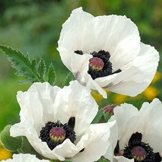 Lumos80 30+ Poppy Royal Wedding Black & White Flower Seeds/Papaver/Deer Resistant