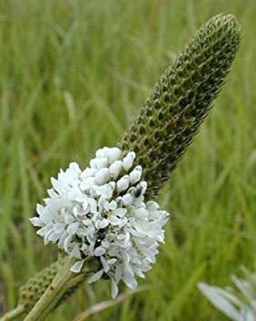Candida Shopvise Dalea | Blanc Prairie Clover | 500_Seeds