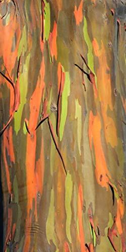 Regenbogenbaum - Eucalyptus deglupta (Bonsai geeignet)- 50+++ Samen -